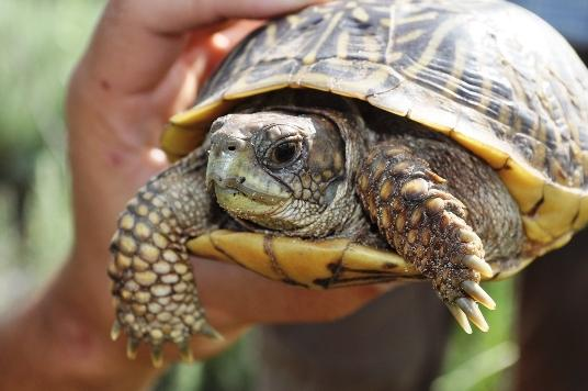 Colorado Box Turtle Project Colorado Reptile Humane Society