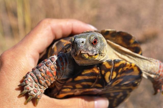 Meet The Ornate Box Turtle