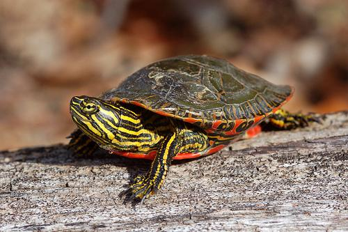 A Western Painted Turtle ( C. p. bellii ) - Colorado's ...